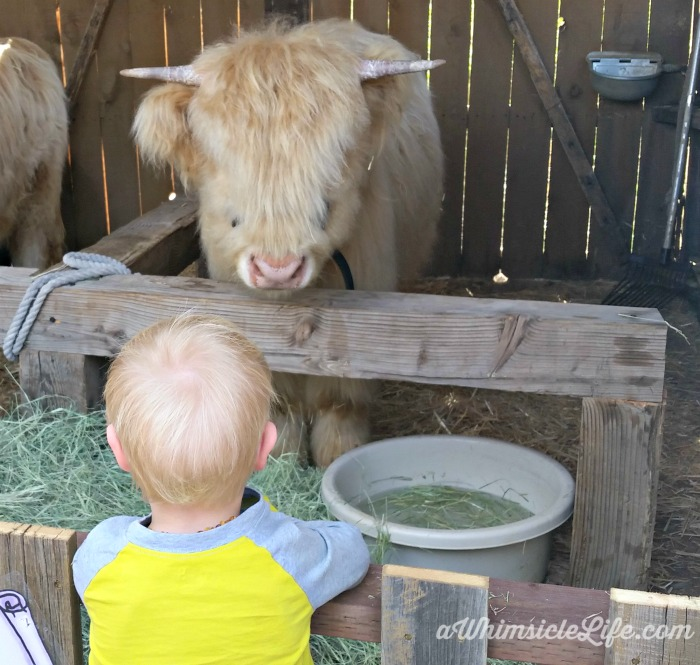ox-baby-renaissance-festival