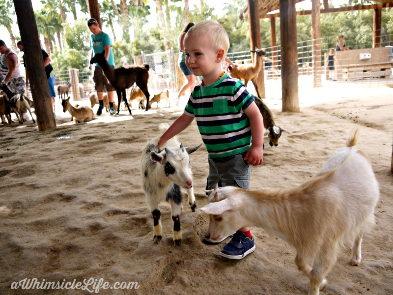 boy-petting-baby-goat-Wildlife-World-Zoo