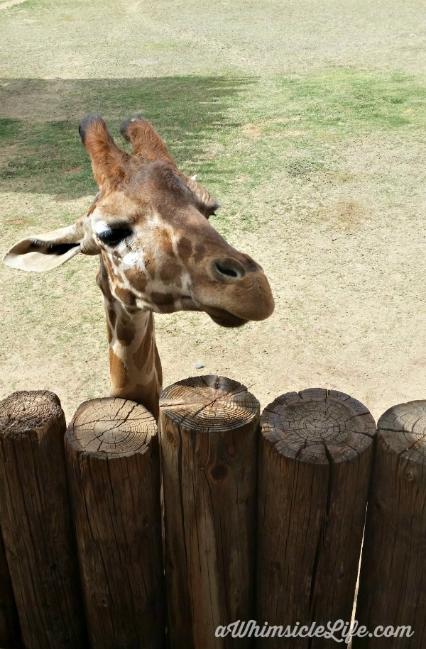 giraffe-fence-Wildlife-World-Zoo