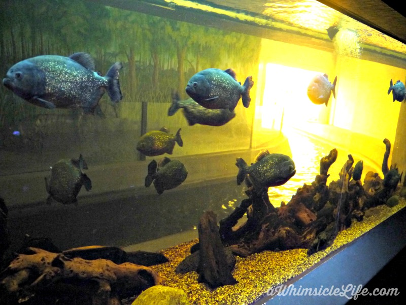 piranhas-wildlife-world-zoo