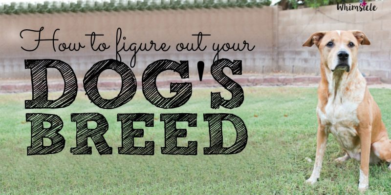 How to Figure Out Your Dog's Breed